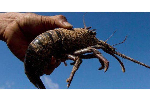 lobsternya segede ini lho di Pulau Timang~