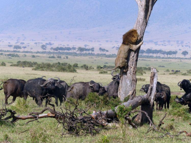 singa takut dikejar kawanan kerbau