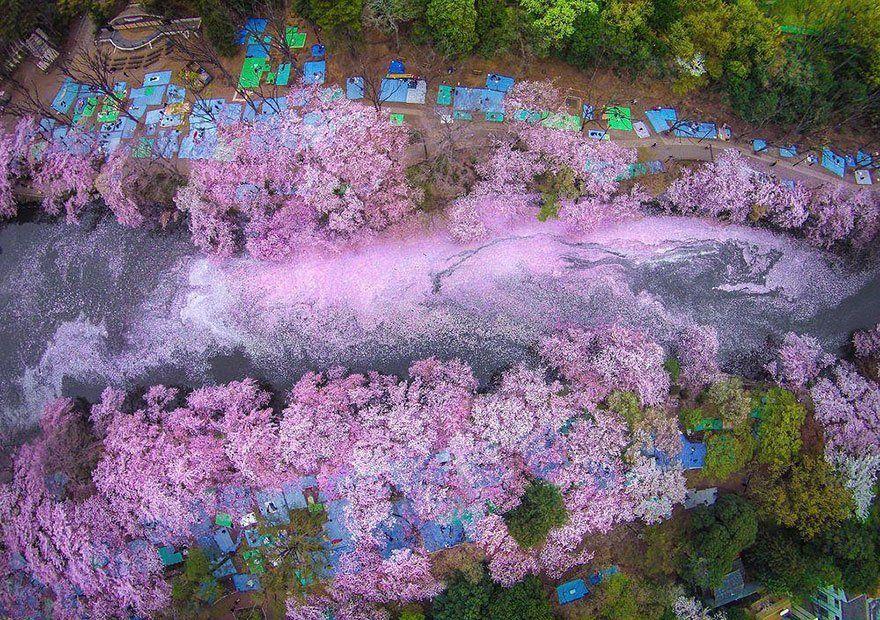 12 Foto Ini Menunjukkan Betapa Menawannya Bunga Sakura Di Jepang