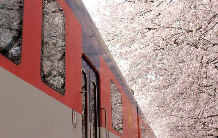 sakura di kereta