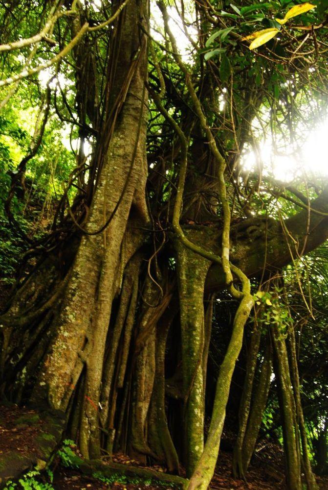nih pohon paling ngeri se-Bali!