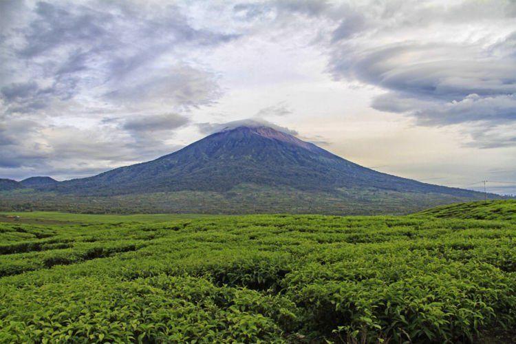 Perkebunan teh terluas kedua di dunia