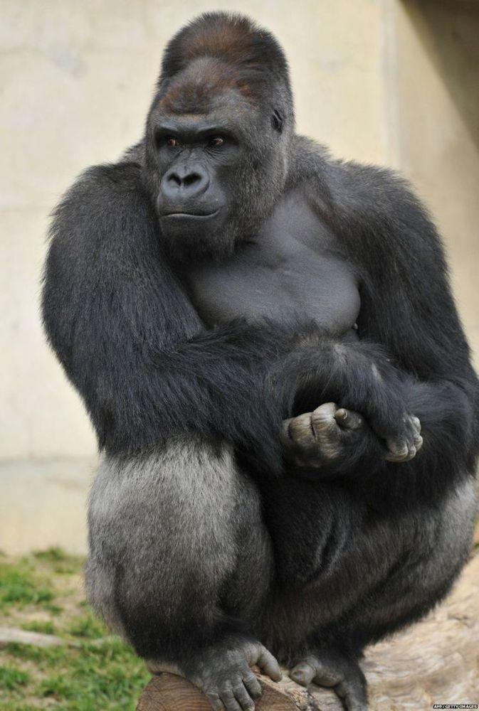 Cool banget gaya Gorilanya