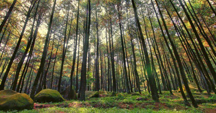 Hutan Pinus Mangunan emang d'best
