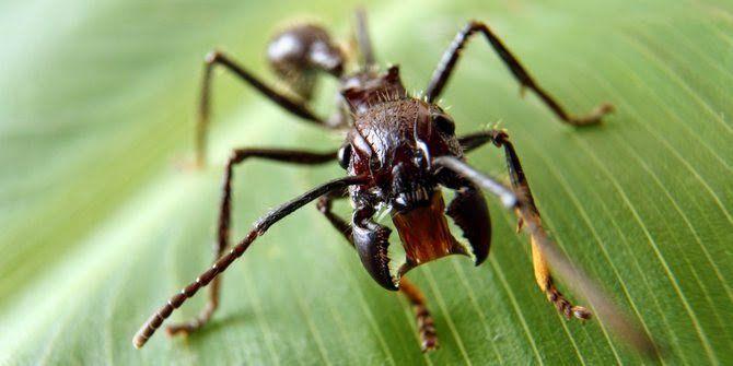 ini namanya semut peluru, mematikan