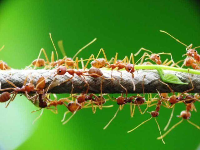 Bunuh semut pakai cuka