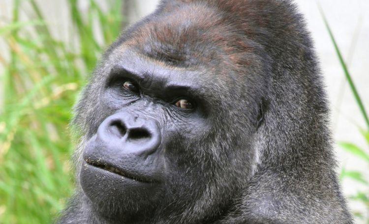 Shabani, Gorila Ganteng di Jepang