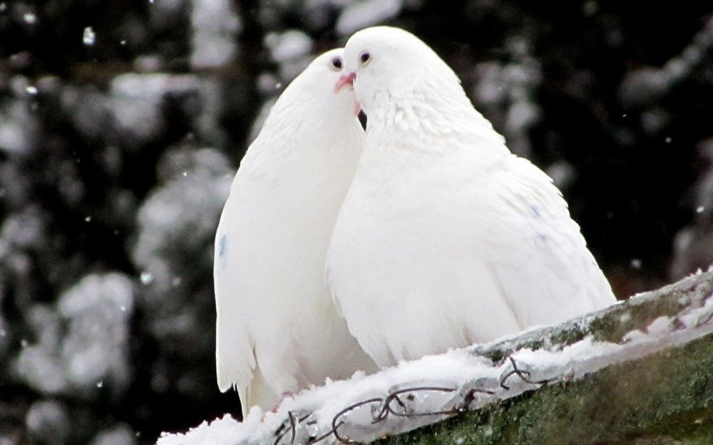 44+ Foto Gambar Burung Merpati Buat Undangan  Paling Unik