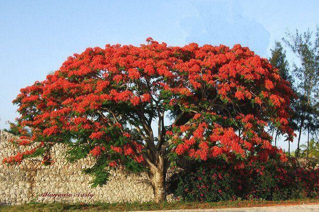 nih namanya pohon flamboyan delonix regiaitu. indah ya?