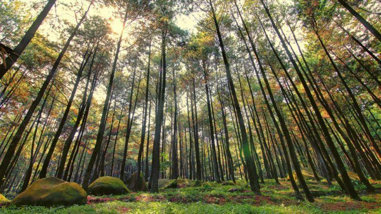 Hutan pinus, Gunung Pancar