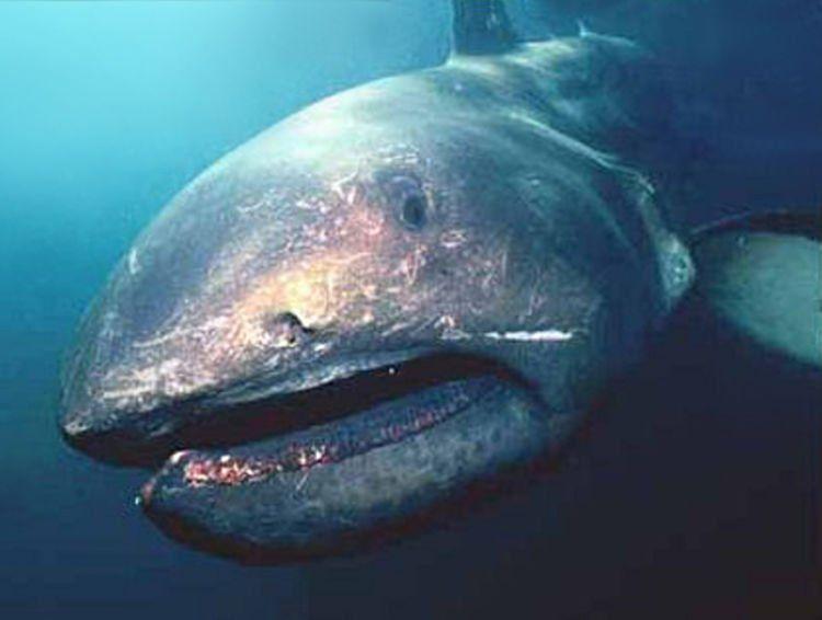Ini salah satu hiu paling gede