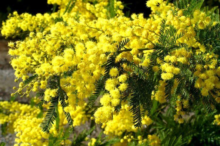 Bunga Akasia
