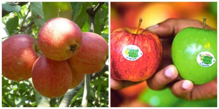 Apel lokal (idnusantara.com) dan apel impor (riaupos.co).