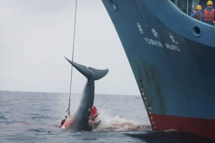 Jelas saja perburuan paus Jepang dilarang kalau gini caranya...