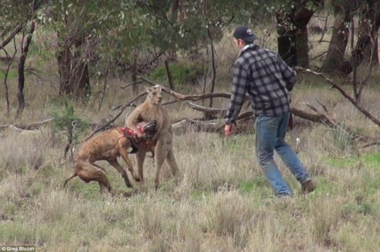 Seekor kangguru mencoba mencekik seekor anjing