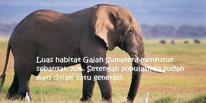 Kasus kematian gajah Sumatera masih marak. Pemerintah harus menindak tegas pembunuhnya!