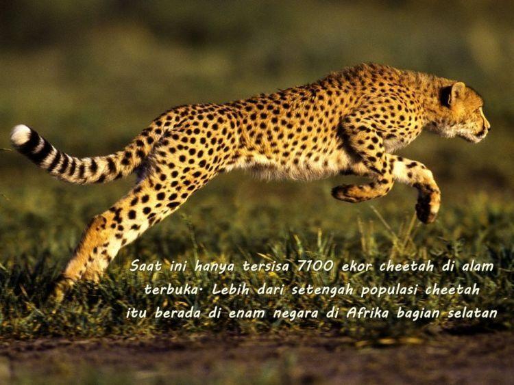 Di Asia, cheetah justru sudah punah. Hanya tersisa kurang dari 50 ekor di Iran