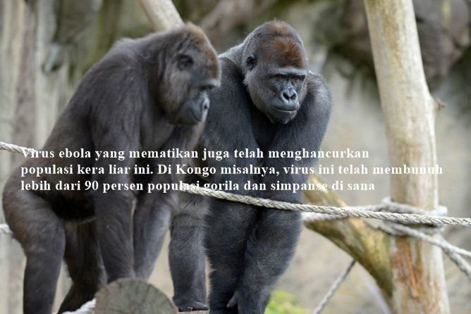 Kerusakan habitat hewan langka ini terjadi di kawasan Afrika Barat hingga Indonesia