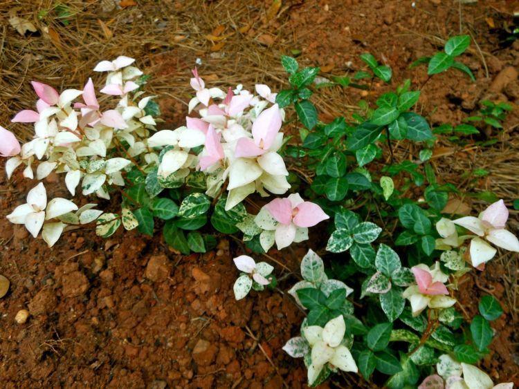 suburkan bunga azalea