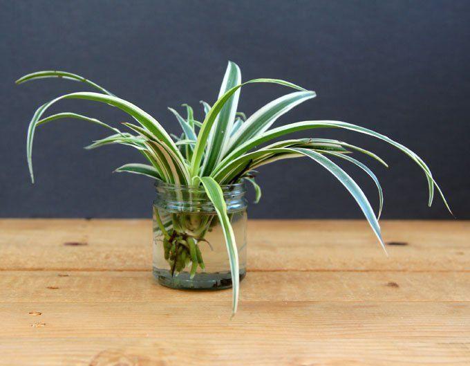 hipwee spider plant - Jenis Bunga Yang Hidup Di Air