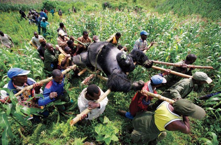 pembunuhan gorila