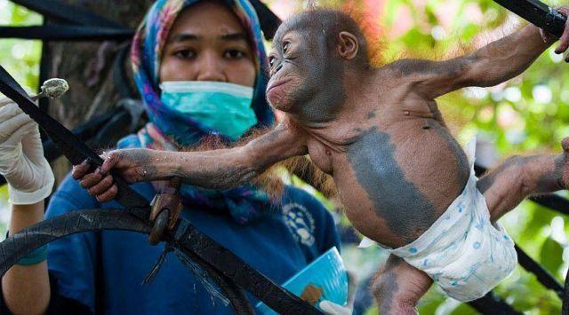 Memberi makan orangutan