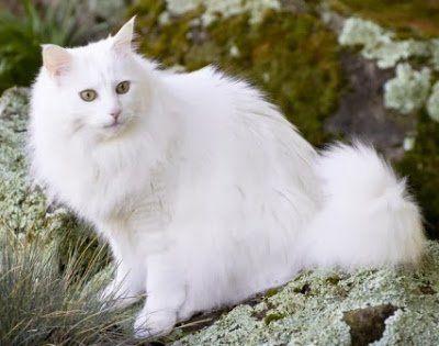 Harga ras kucing Anggora yang Asli memang MAHAL!