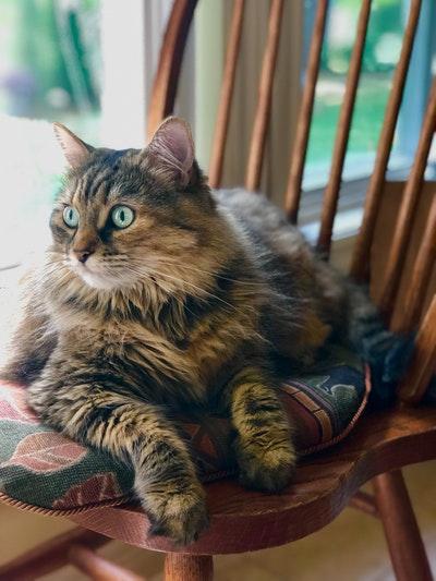 Kaki kucing Anggora