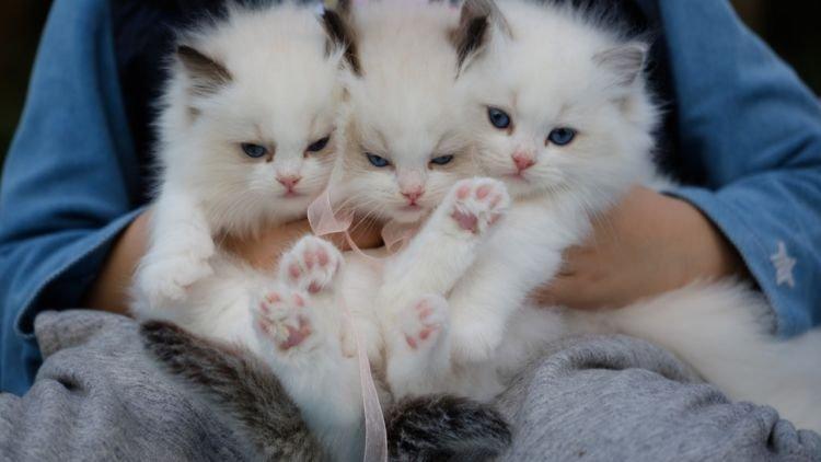 11 Ciri Kucing Anggora Yang Asli Kalau Belum Tahu Betul Lebih
