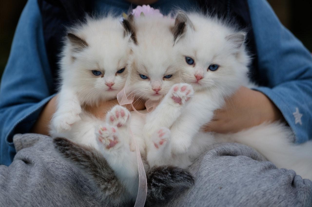 11 Ciri Kucing Anggora Yang Asli Kalau Belum Tahu Betul Lebih Baik Nggak Usah Beli