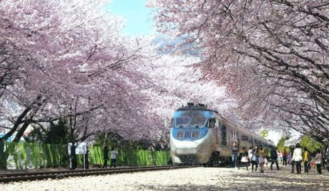 Cherry Blossom di Busan