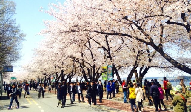 Cherry Blossom di Seoul