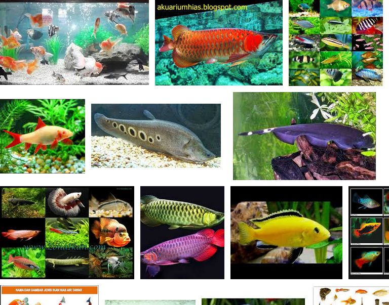 Jenis Ikan Hias Air Tawar Aquarium Terlengkap Dari A Z