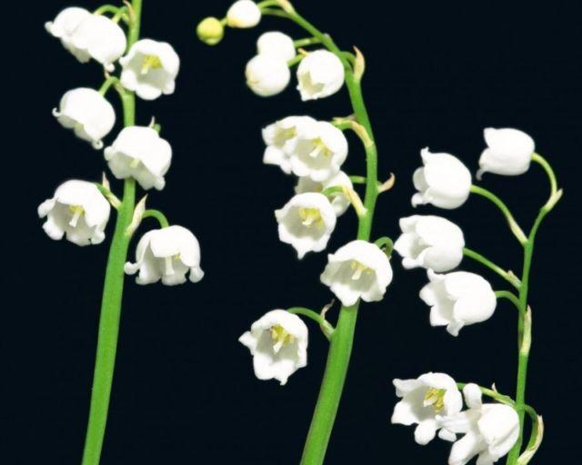 Bunga Bentuk Lonceng terbalik