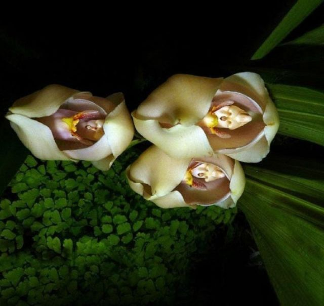 Bunga Unik dengan Bentuk menyerupai bayi di bedong