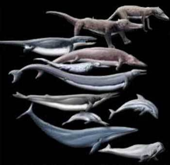 Evolusi paus