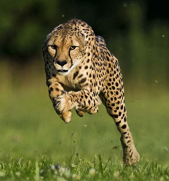 Satwa Darat Tercepat Cheetah