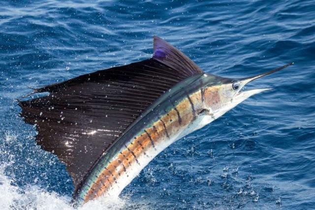 Satwa Air Tercepat Sailfish/Ikan Layar