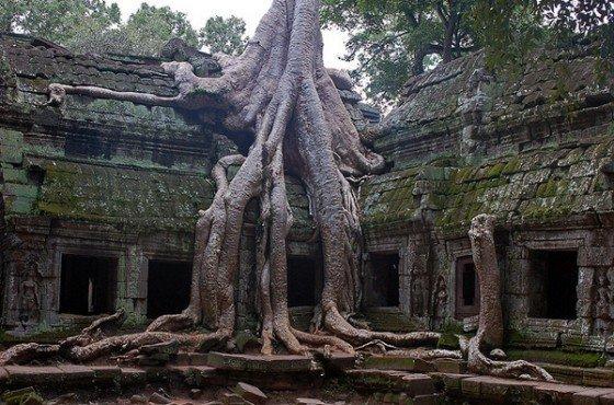 Pohon Kapas Sutra (Kamboja)