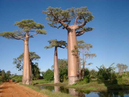 Teapot Baobab (Madagaskar)
