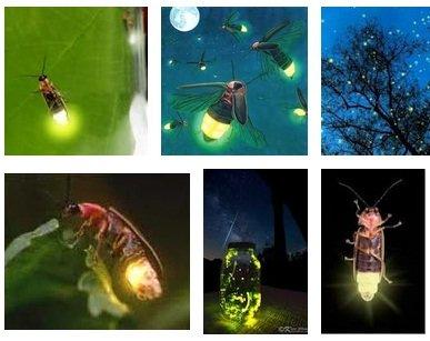 spesies kunang-kunang