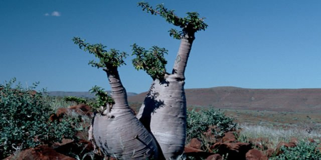 Pohon Botol (Namibia)