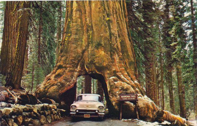 Pohon Wawona (Amerika Serikat)