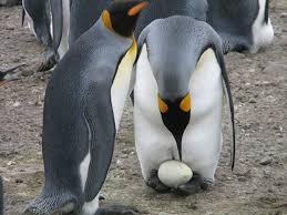 penguin yang menjaga kepercayaan pasangannya