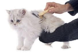Menyisir Kucing