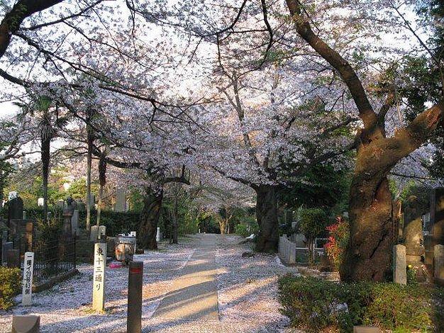 Tradisi melihat sakura di dekat pemakaman