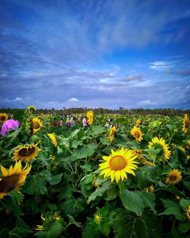 Download 500+ Wallpaper Cantik Bunga Matahari HD Paling Keren