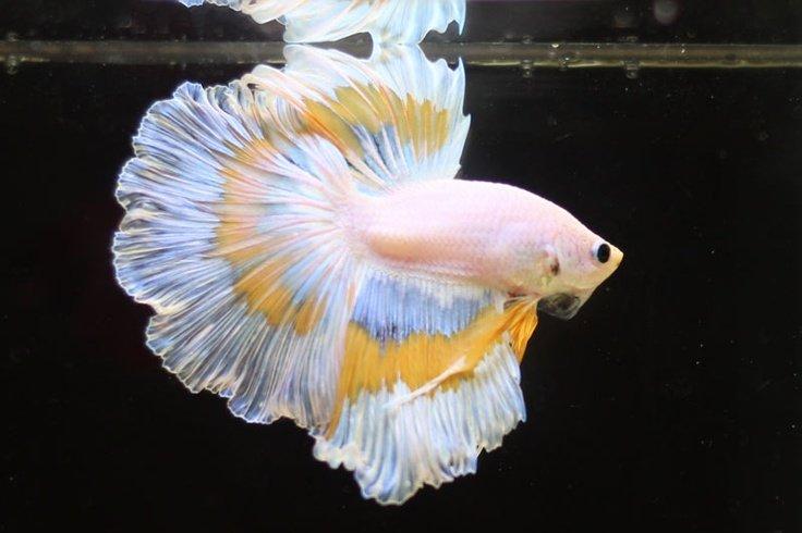 Unduh 7800 Koleksi Daftar Nama Dan Gambar Ikan Cupang HD Terbaru