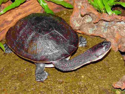 Kura-kura Leher Ular Rote