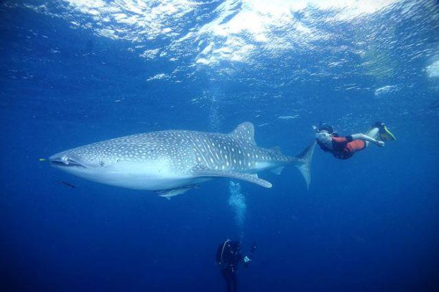menyelam bersama hiu paus